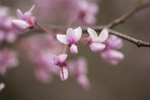 Redbud flowers resemble pea and bean blossoms.
