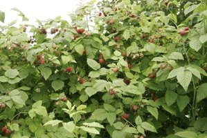 Raspberries grow 2 to 5 feet tall and spread through underground shoots.