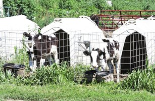 Calf housing can vary depending on the farm environment and needs.