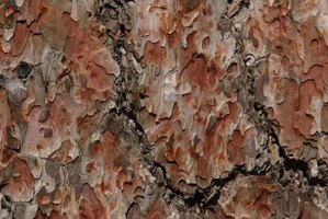 Edible pulp lies beneath the rugged hard texture of pine bark.