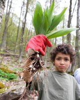 Wild leeks grow in the woods of the eastern United States.