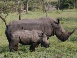 Reinforce activities with a photo or video of a real rhino so kids understand how the animals look.