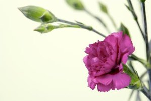 Many carnations have a clove-like scent.