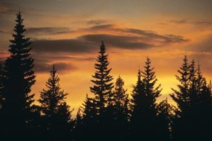 How to Care for a Norway Spruce