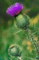 Bull thistle is the most common thistle found in pastures in the United States.