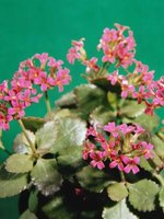 Kalanchoe produces flowers in small clusters.