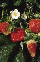 Strawberry plants flower at different times depending on the variety.