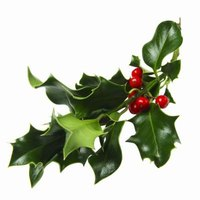 Holly foliage and berries are used for winter decoration.