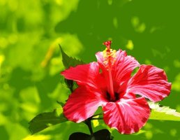 The Rose of Sharon belongs to the hibiscus species.