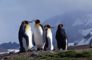 Penguins are social birds that live, breed and nest in colonies.