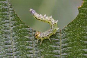 Pyrethrins control caterpillars on shrubs and trees.