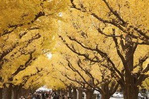 Ginkgoes grow fastest after establishment.
