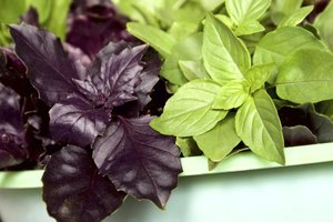 The leaves of purple basil contrast with its green cousin.