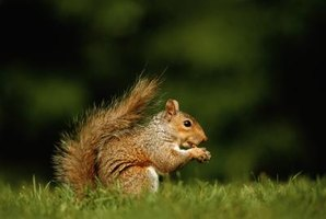 Squirrel sitting on grass.
