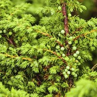 Some junipers produce decorative berries or cones.