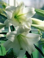 Your Easter lily can live for several years in the garden.