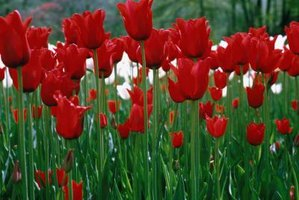 Many tulip flowers are cup-shaped.