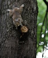 Tree squirrels are among the most damaging animals when it comes to stripping the bark from trees.
