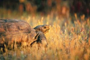 Tortoises appreciate, and should be provided with, large, complex habitats.