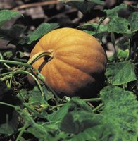Pumpkins are warm weather vine crops.