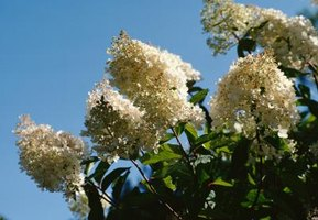 Crape myrtles are deciduous.