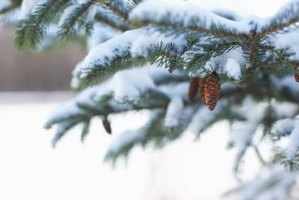 Spruce trees are suitable for landscaping in cold climates.