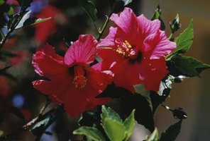 Two healthy hibiscus flowers