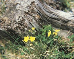 Cinquefoil thrives when you ignore it, needing neither irrigation nor fertilizer.