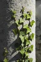 Despite the elegant appearance, English ivy can damage buildings and trees.
