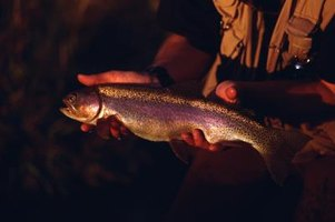 In cold weather, rainbow trout will eat minnows.