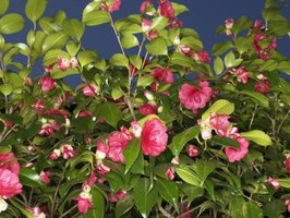 Is Camellia an Evergreen?