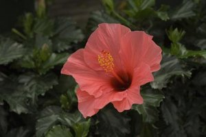 Hibiscus are often thought of as tropical, but some withstand cold weather.