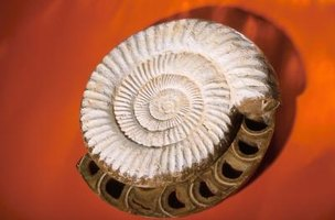 Helix Fossils are formed by Omanyte's spiral shell.
