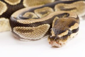 Understanding your ball python's behaviors will allow you to enjoy your pet more.