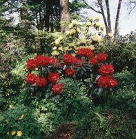 Most rhododendrons are happiest with the protection of larger trees.