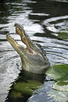 Confrontations with alligators don't usually end with physical harm.