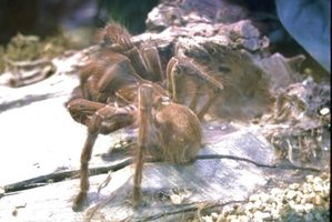 While crickets are a main tarantula staple, larger tarantulas can also handle small geckos and mice.