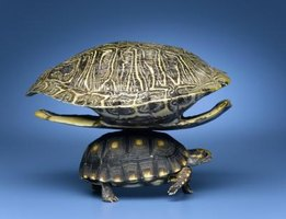 Turtles live within their shell during their entire life.