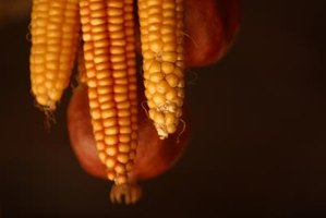 How to Pollinate Sweet Corn by Hand