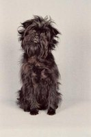 The affenpinscher's small size and monkeylike expression make it an appealing family pet.