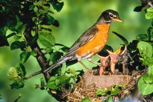 Make sure a baby robin is orphaned or injured before you attempt to care for it.