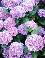 Hydrangeas come in pastel colors.
