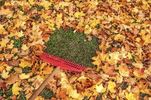 Leaving fallen leaves on the lawn can kill the grass.