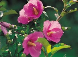 Tattered foliage may be a sign of insect pest damage on hollyhocks.