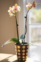 Orchids often need staking to support their stems as they grow.