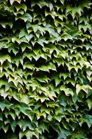 English ivy is well suited for climbing structures in a shady location.