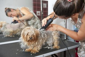 Small dog being clipped by woman