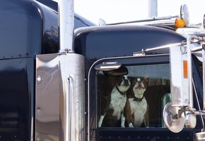 Dogs looking out the window of a truck.
