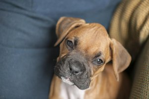 Young boxer dog looking at the camera.