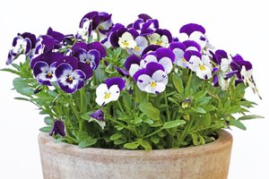 Pansy flowers are either single colors, such as purple or yellow, or multiple colors.
